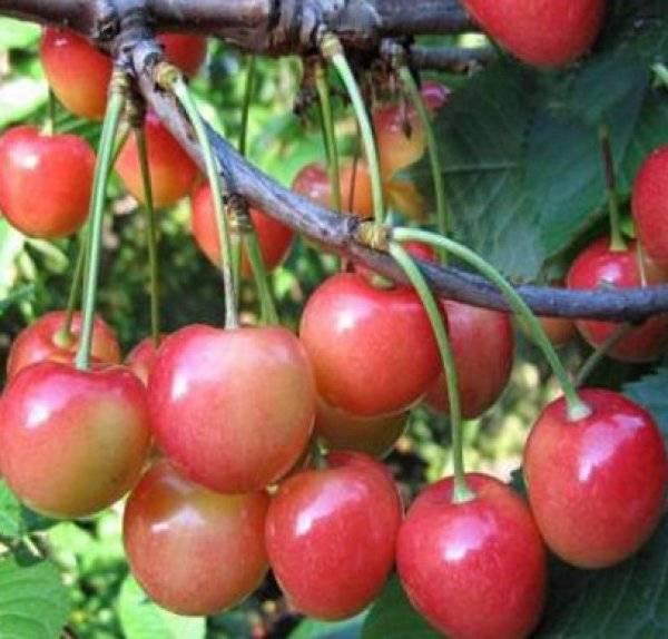 О черешне Юлия: описание и характеристики сорта, посадка, уход, выращивание