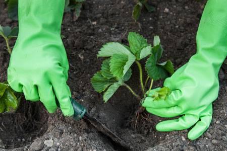 Земляника садовая до и после зимовки: как правильно укрыть и разбудить