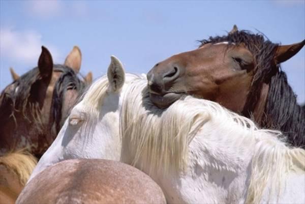 Как спят лошади.