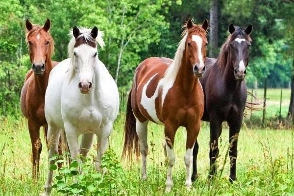 Распространение доминантного аллеля гена silver в отечественных породах лошадей