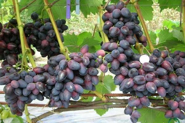 Виноград красотка: описание и характеристики сорта, посадка и уход, сроки созревания