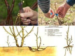Как вырастить сливу из черенка