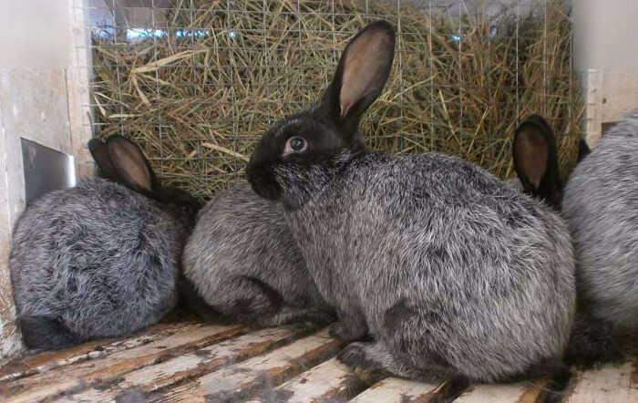 Чем кормить кроликов, чтобы они быстро росли и набирали вес?