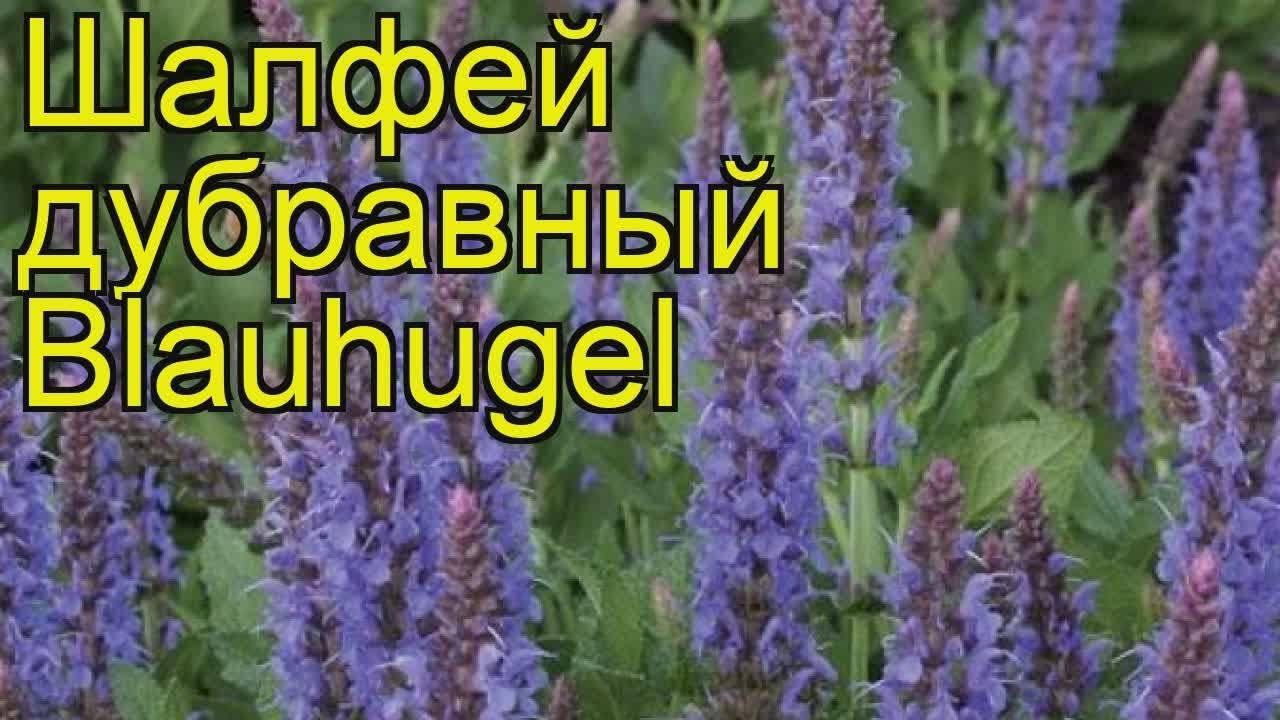 Шалфей дубравный: описание и основы выращивания