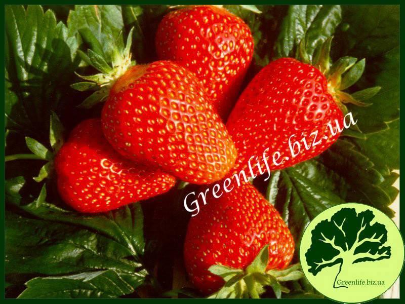 Садовая земляника клери: рекомендации по выращиванию