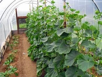 Все о выращивании огурцов в теплице: от проращивания семян до подкормки и формирования куста