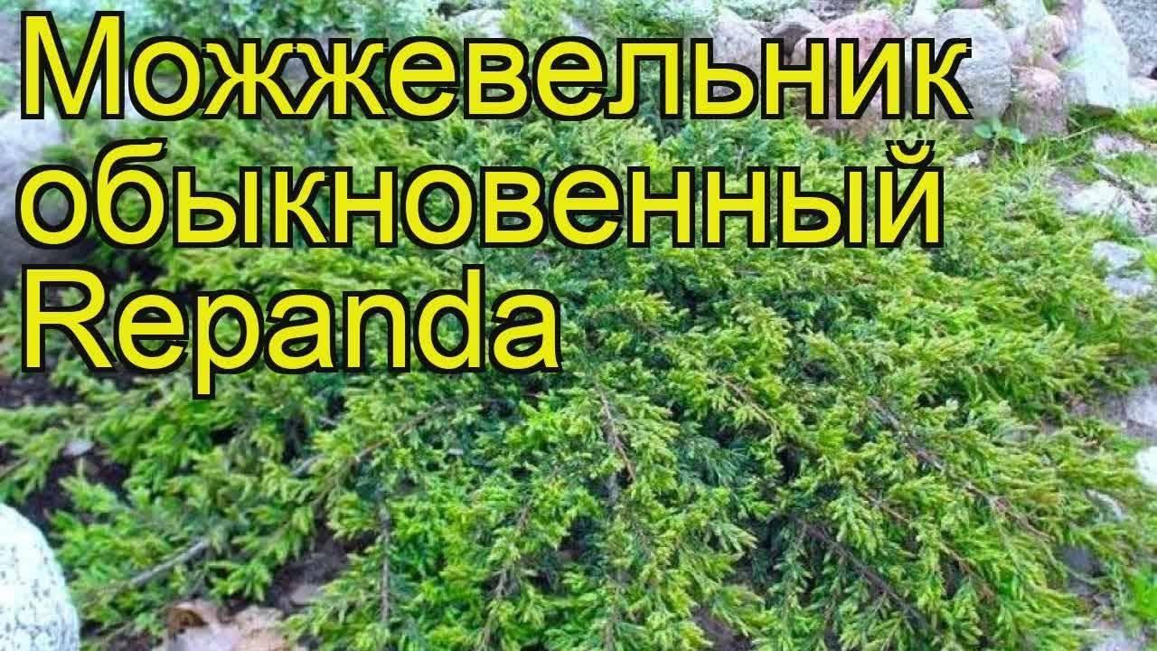 Можжевельник обыкновенный репанда (juniperus communis repanda)