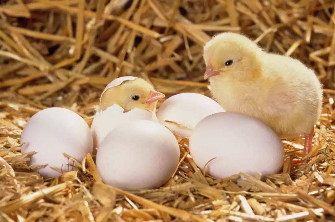 Все о вылуплении цыплят в инкубаторе: что делать, чтобы помочь вылупиться