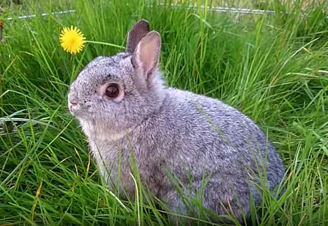 Шиншилловый кролик: описание породы, уход и содержание