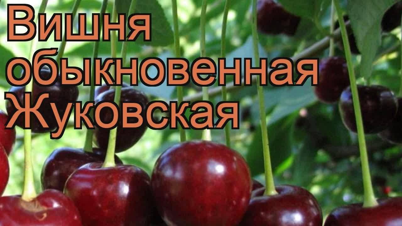 О вишне Жуковская: описание и характеристики сорта, уход и выращивание