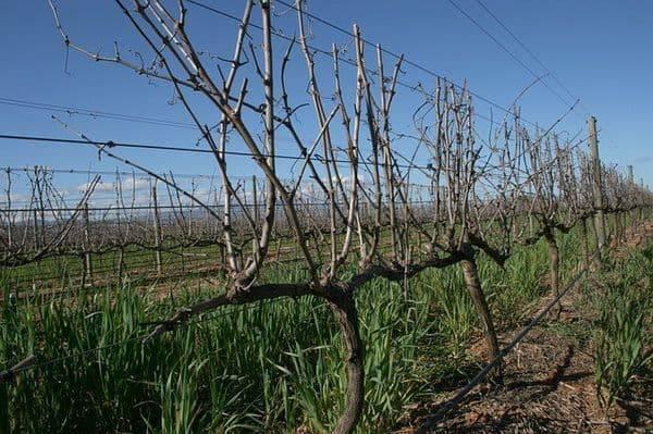 Обрезка винограда весной: как правильно формировать виноградную лозу