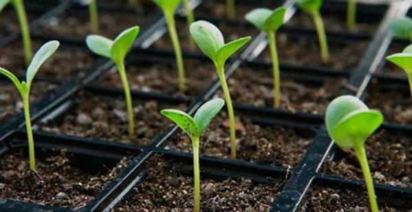 Самое правильное выращивание рассады огурцов