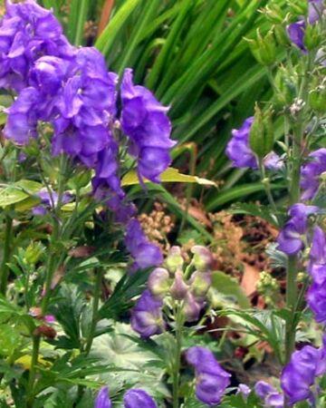 Аконит джунгарский – лекарственное растение