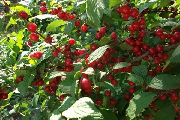 Войлочная вишня — выращивание и уход, посадка, обрезка, фото