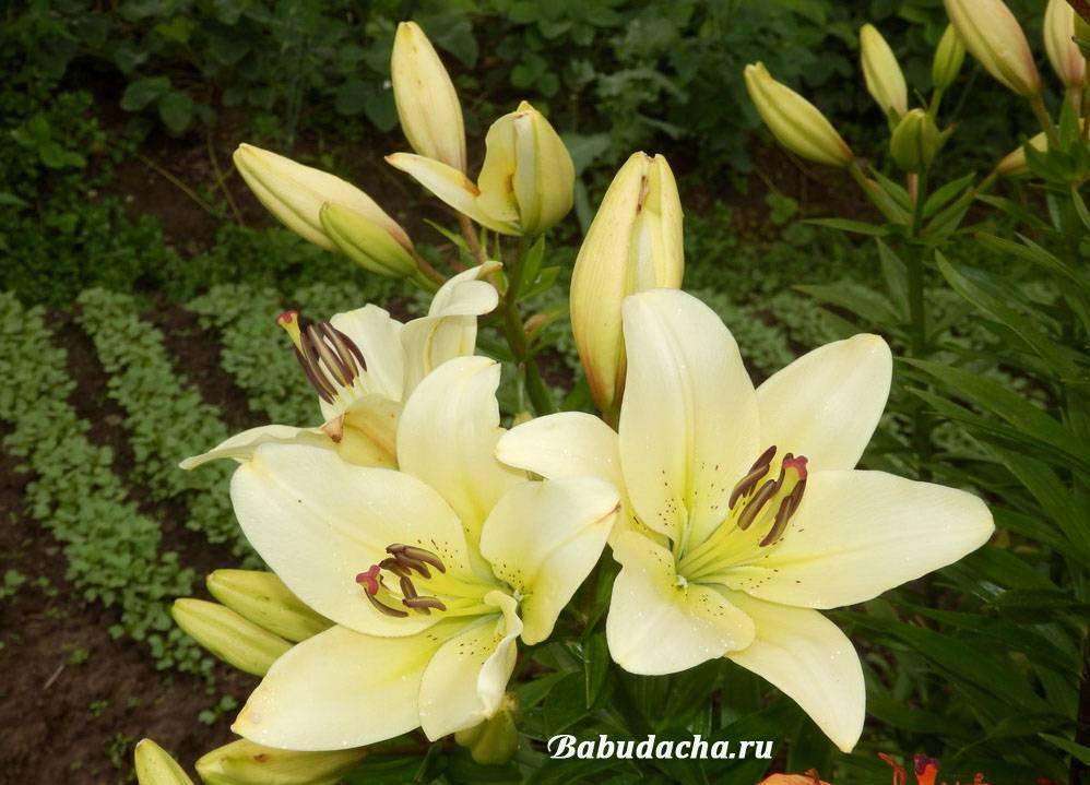 Когда выкапывать лилии и как их хранить?