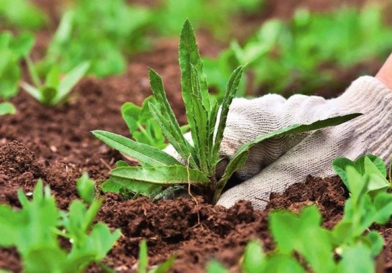 Гравилат, выращивание из семян красивоцветущего многолетника