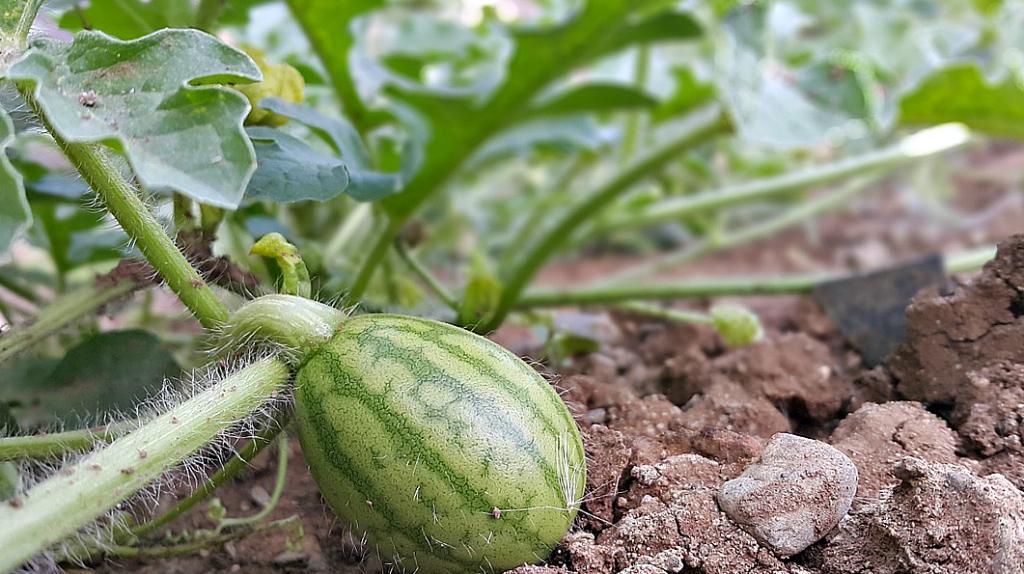 Нужно ли замачивать семена для рассады. проращивание семян для рассады