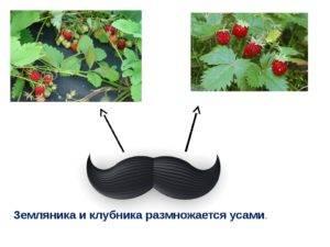 Летние способы размножения клубники – усами и делением куста