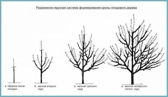 Обрезка сливы весной – простое приемы, увеличивающие плодоношение дерева