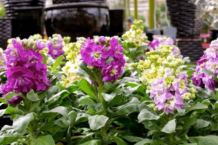 Маттиола двурогая (ночная фиалка): выращивание и уход