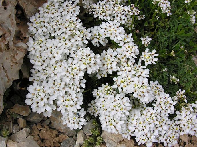 Иберис зонтичный (36 фото): выращивание цветов из семян. когда лучше сажать? описание белых сортов, «гранатовый лед» и «лилициана»