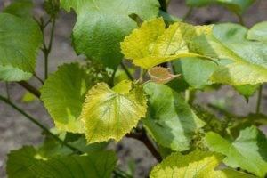 Почему скручиваются листья у винограда, что делать