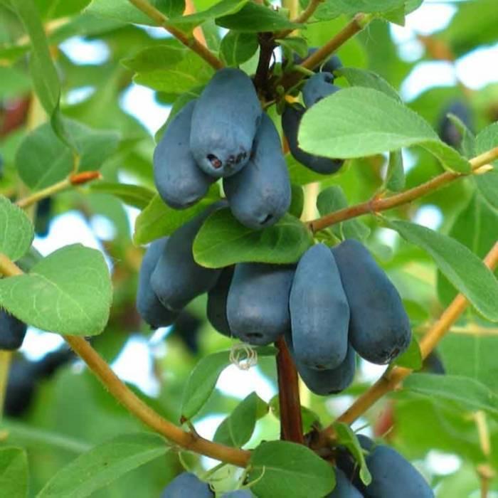 Жимолость: полезные свойства ягод