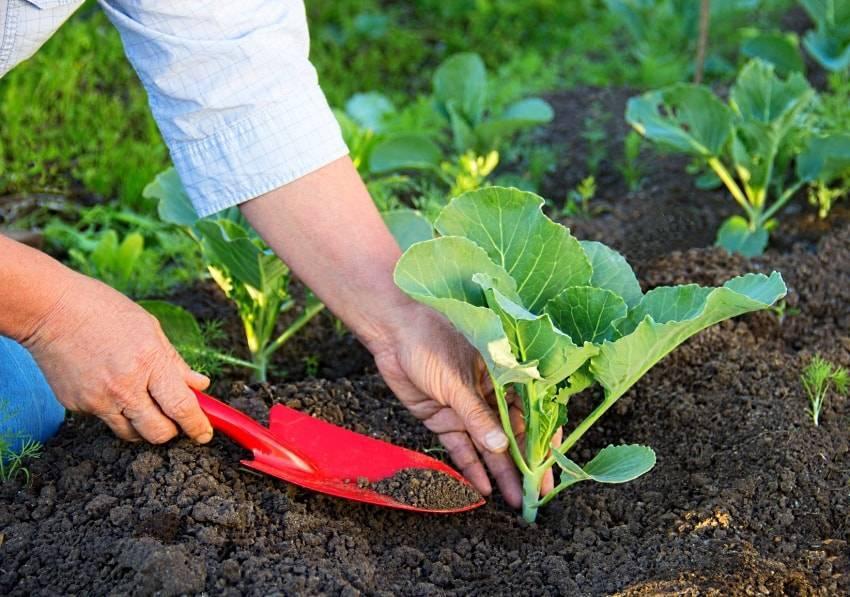 Посадка рассады и уход за цветной капустой в открытом грунте, подкормка, полив и окучивание. этапы подкормки цветной капусты в открытом грунте