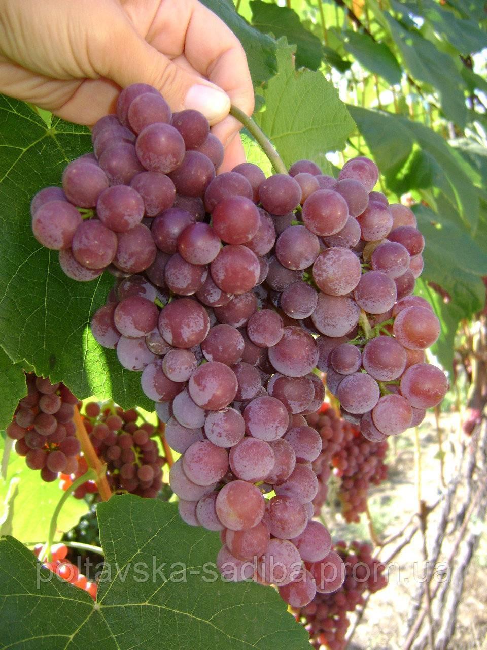 Описание сорта винограда Рилайнс Пинк Сидлис, основные характеристики и особенности
