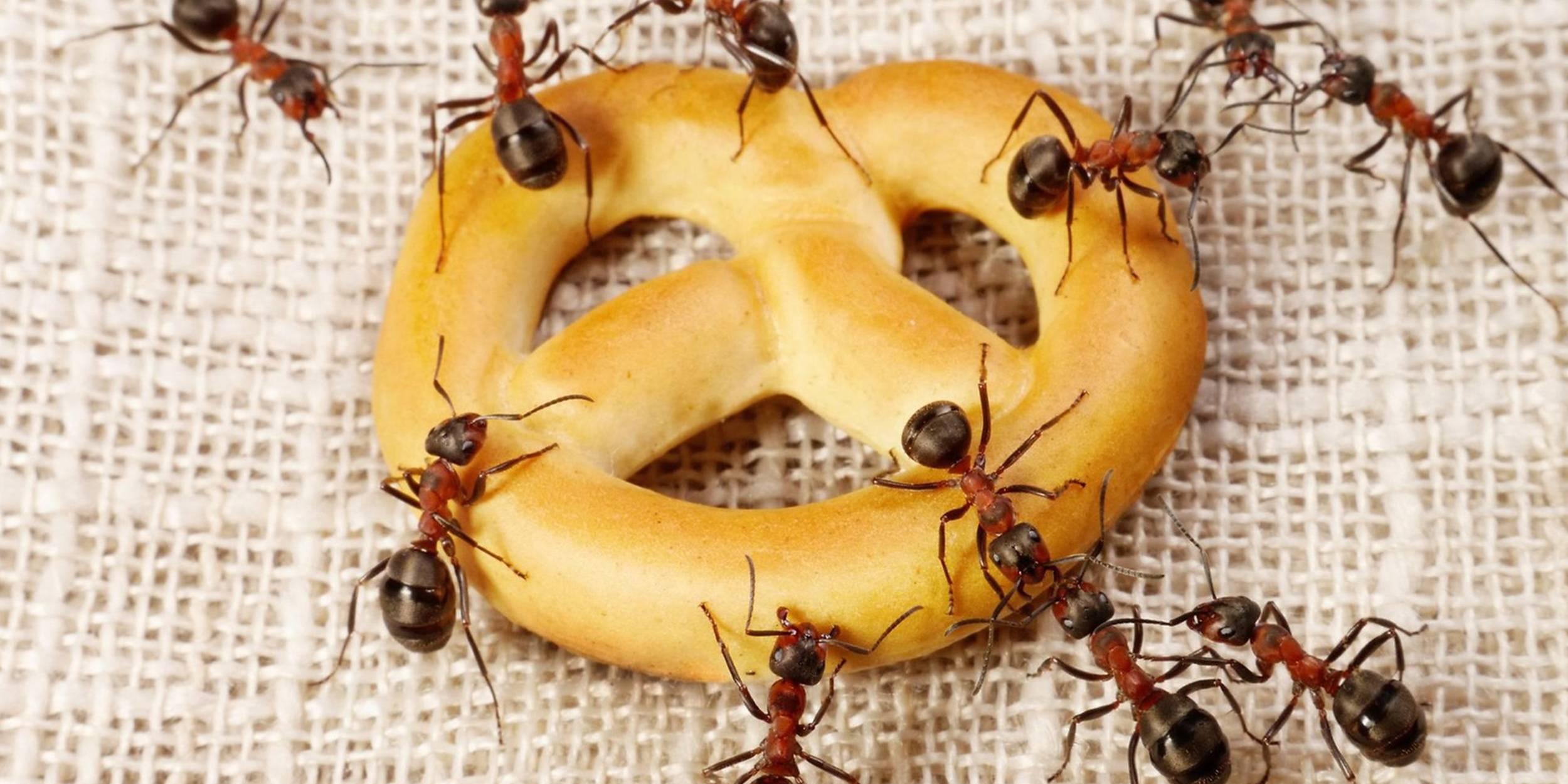 Рецепты с борной кислотой от муравьев