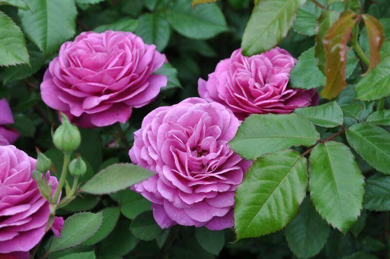 Роза heidi klum rose (хейди клюм роз) почвопокровная. описание сорта роз хайди клум heidi klum rose heidi klum rose хайди клум розе