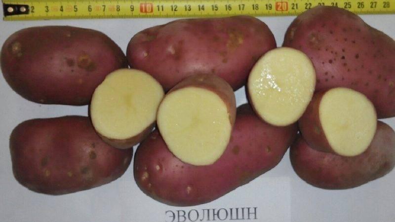 Картофель эволюшн: характеристика и способы выращивания