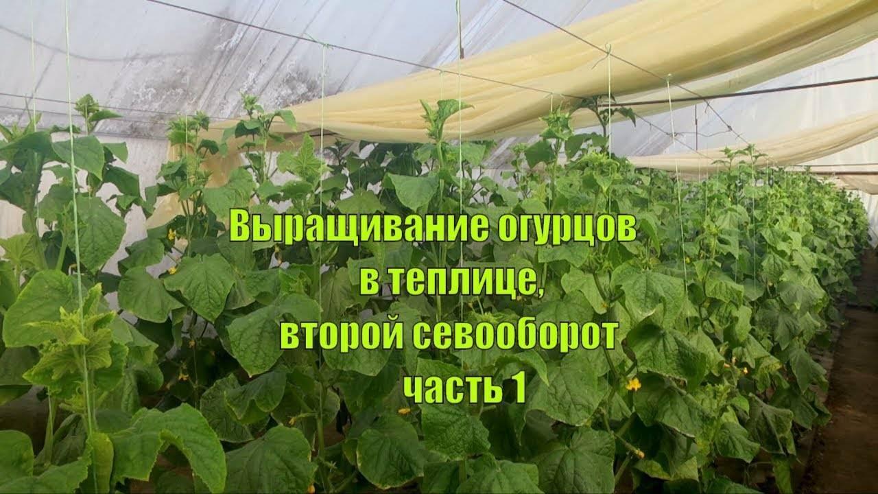 Как правильно посадить огурцы в теплице из поликарбоната