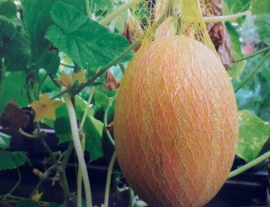 Выращивание арбузов на урале в теплице