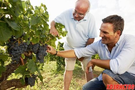 Какие побеги удалять у винограда, удаление лишних гроздей, обломка винограда