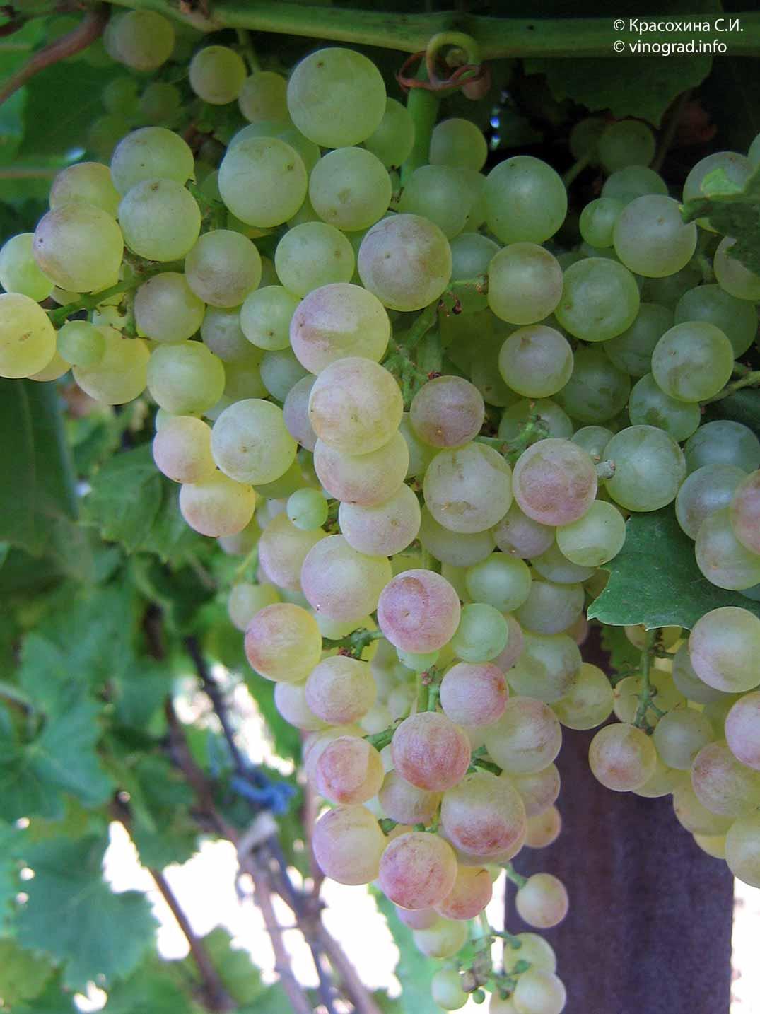 Виноград коринка русская: описание сорта, правила выращивания и ухода