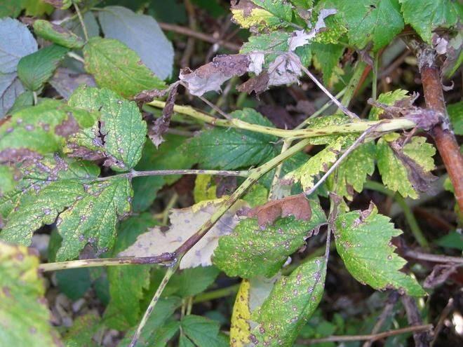 Болезни малины: описание с фотографиями и способы лечения