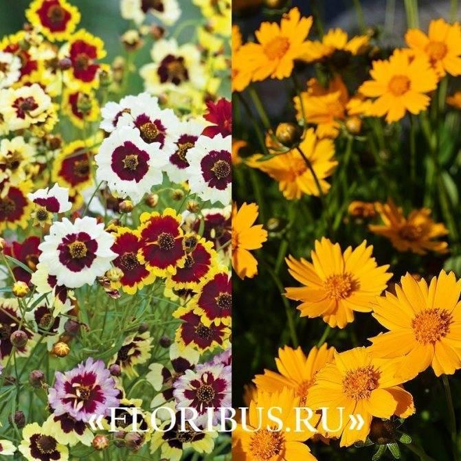 Цветок кореопсис многолетний: виды, сорта, советы по уходу