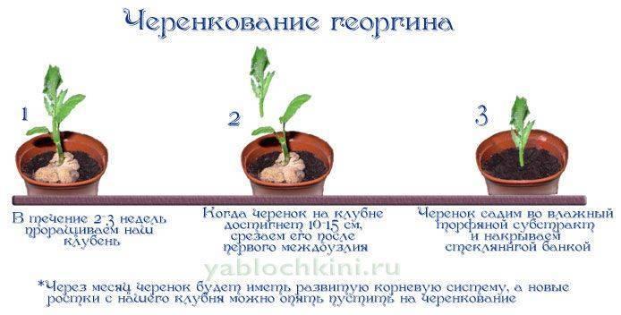 Георгина однолетняя: выращивание из семян - подробная инструкция!