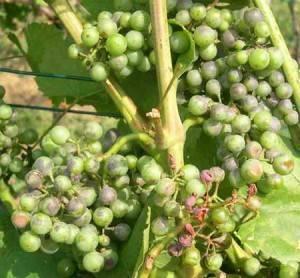 Оидиум винограда: меры борьбы с настоящей мучнистой росой