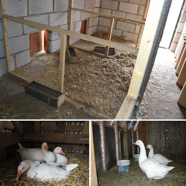 Как построить сарай для гусей?
