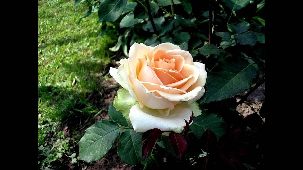 Роза чайная: уход в домашних условиях, посадка, полив и размножение