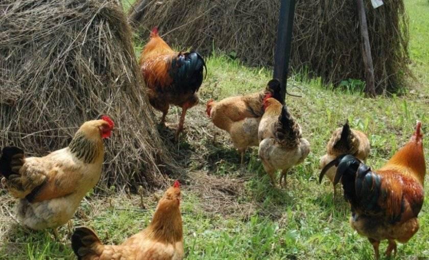 Описание породы кур кучинских юбилейных, разведение и яйценоскость