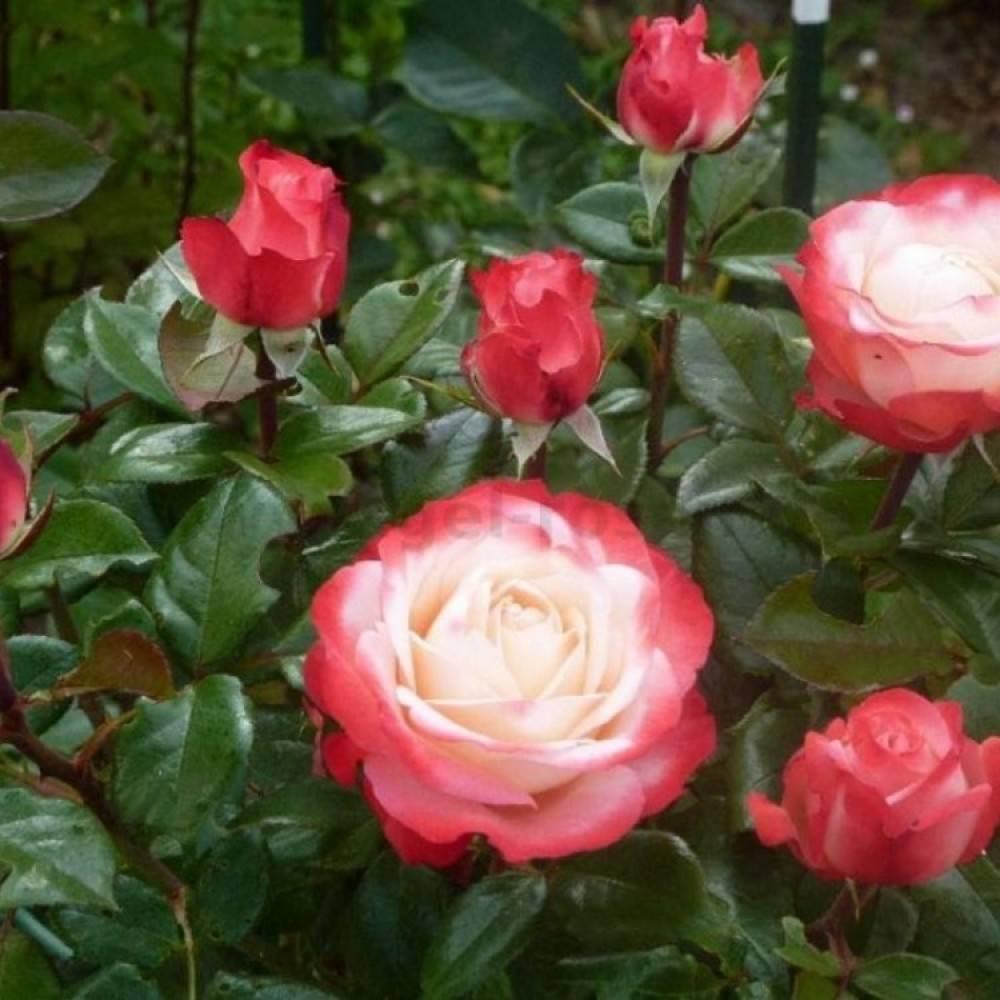 Старинные и современные, садовые, парковые и чайно-гибридные розы. лучшие сорта