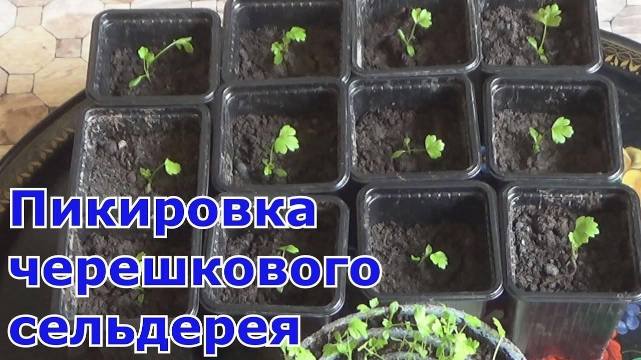 Выращивание сельдерея в сибири - огород