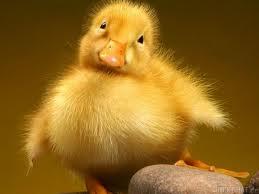 Цыплята кур и бройлеров (от зародыша курицы): развитие цыпленка в яйце по дням