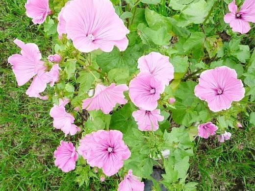 Цветок мальва - посадка и уход, выращивание из семян