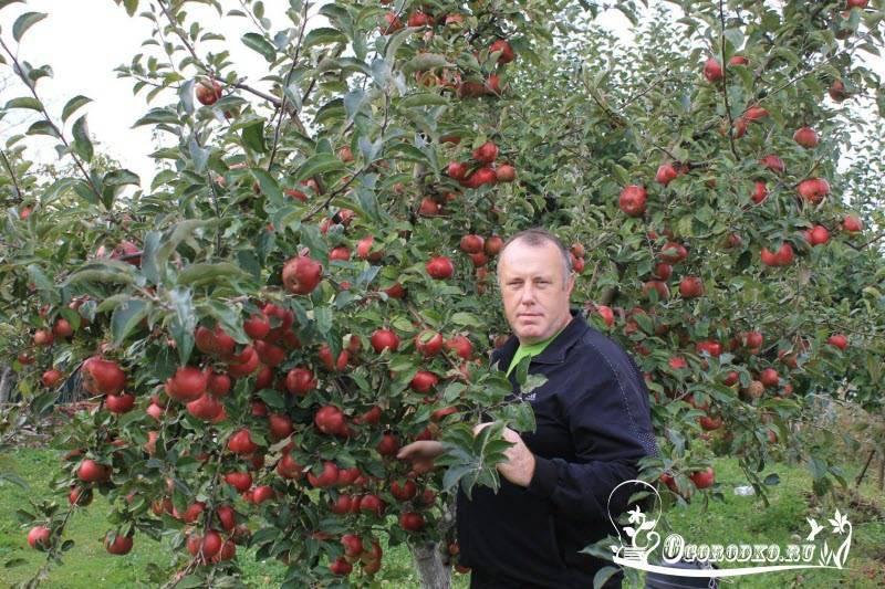 Яблоня пепин шафранный: описание сорта - общая информация - 2020