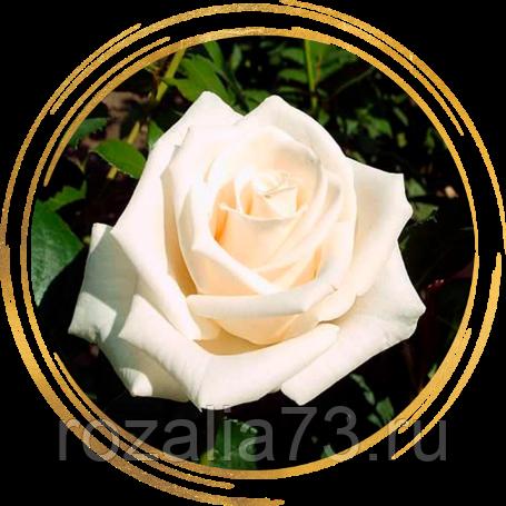 Голландские розы — сорта, как выращивают