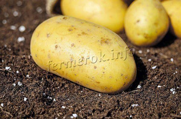 Самые лучшие сорта картофеля на 2020 год